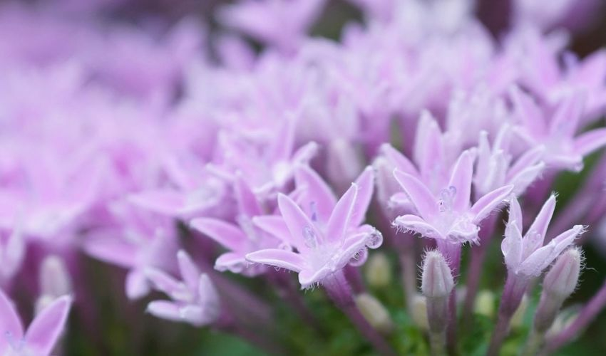 Flower Beauty In Nature Plant Close-up Blooming Water Drops On Flower Pink Color Pentas Lanceolata