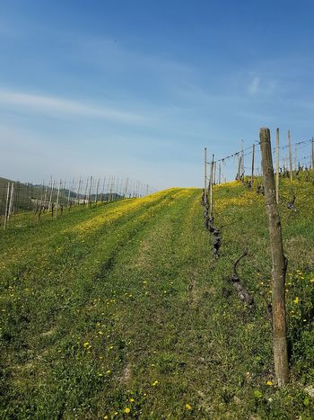 Growth Agriculture Nature Tree No People Sky Winemaking Beauty In Nature Tranquility Yellow Rural Scene Scenics Landscape Outdoors Fragility Green And Yellow Colour Freshness In The Vineyard Spring Blooms Piedmont Italy Langhe Vineyard Freshness Day Close-up
