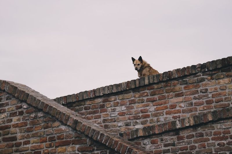 Dog Low Angle View One Animal Roof Brick Wall Building Exterior Built Structure Architecture Roof Tile Domestic Animals No People Feline Animal Themes Day Mammal Sky Outdoors Tiled Roof