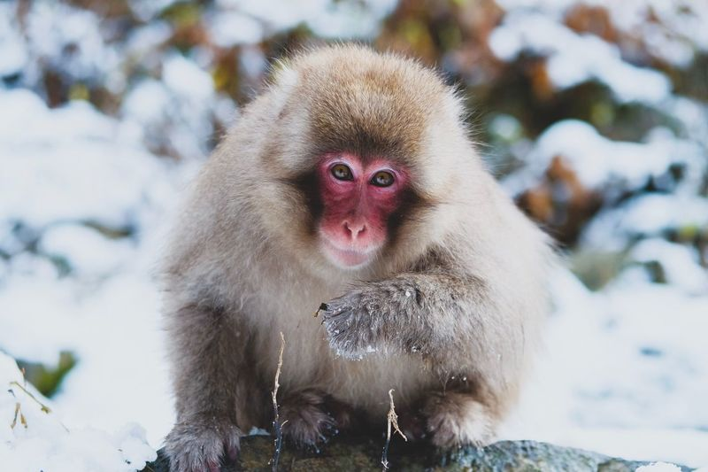 Monkey Business (4) Winter Snow Monkey Fujifilm_xseries Japan Animal Themes Animal Animal Wildlife Animals In The Wild Primate Snow Monkey Cold Temperature Mammal One Animal Looking At Camera Focus On Foreground Japanese Macaque No People Nature Close-up EyeEmNewHere