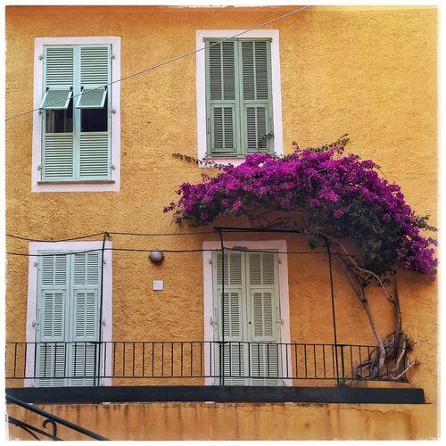 Purple flowers growing by orange building
