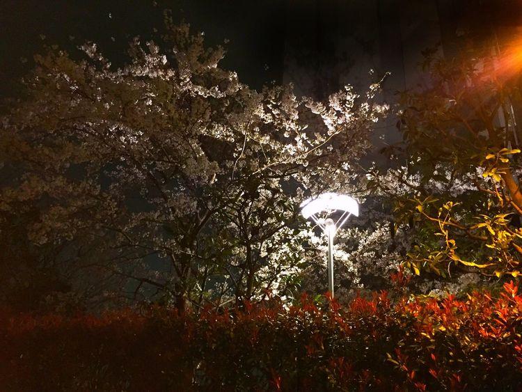 夜裡的櫻花 Cherry Blossoms Night