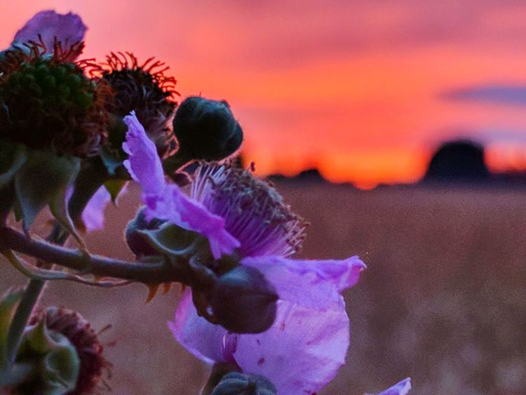 Brambled Sunset Sunset Flower Beauty In Nature Sky Nature No People Pink Color Plant Close-up Outdoors Landscape Fragility Flower Head Night Orange Green Beauty Burnt Orange Blackberries