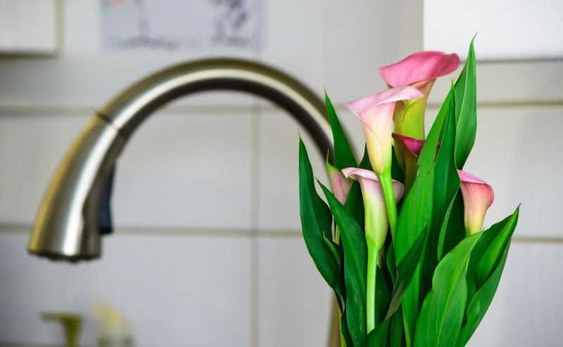 Calla lily in kitchen next to sink in home Flower Fragility Freshness Beauty In Nature Petal Flower Head Nature Close-up Green Color No People Indoors  Growth Plant Day Calla Plants Leaf White Home Lifestyle Calla Lily