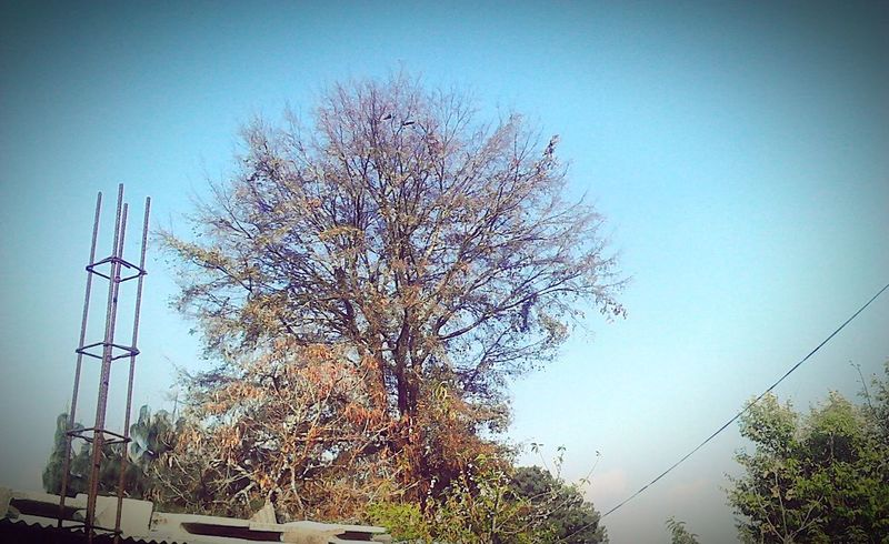 Tree Clear Sky Sky Day No People Nature Outdoors Blue Guatemala Beauty In Nature Tranquility Agriculture Leaves🌿 Cielo despejado!