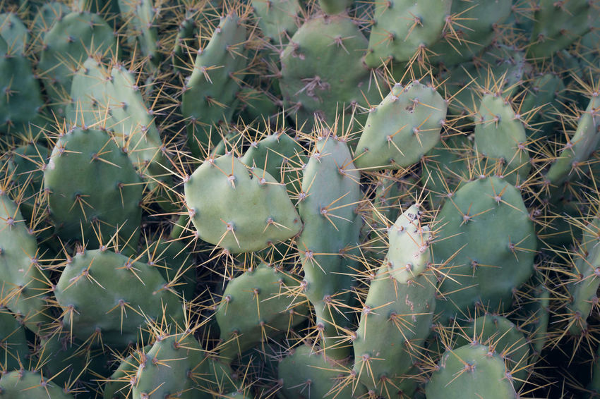 Cacti Cactus Kaktus Cactus Close-up Full Frame Green Color Growth Nature No People Plant Prickly Pear Cactus Thorn