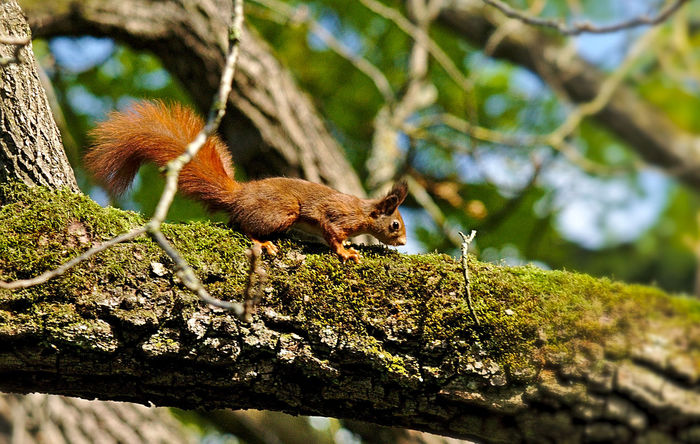 Animals In The Wild Autumn Bark Bushy Tail EyeEm Nature Lover Green Nikon Red Squirrel Animal Wildlife Rodent Beauty In Nature Branch Climbing Cute Eye Focus On Foreground Fur Moss Mossy Tree Nature Nosiness One Animal Tree