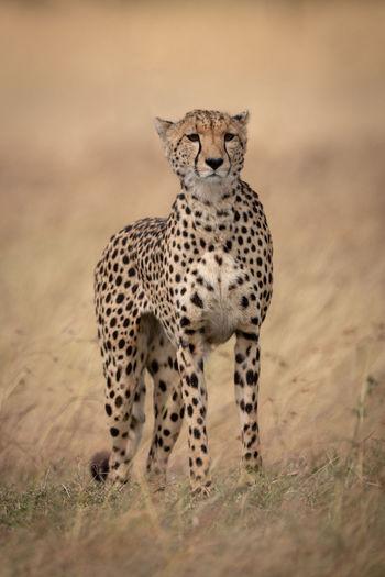 Cheetah standing on field in zoo
