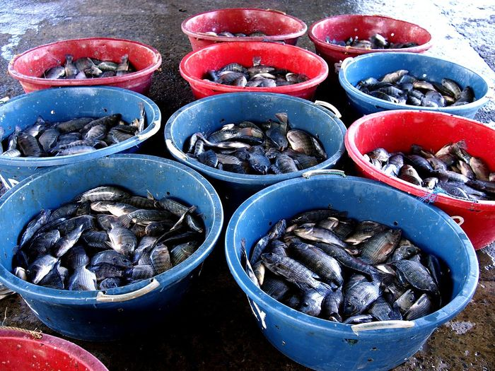 live and fresh fish in containers at a fish port Fish Seafoods Tilapia Live Fish Fish Port Market Freshness Fresh Seafood Market Can Backgrounds High Angle View Close-up For Sale Retail Display Farmer Market Market Fish Market Stall Shop Market Stall Street Market