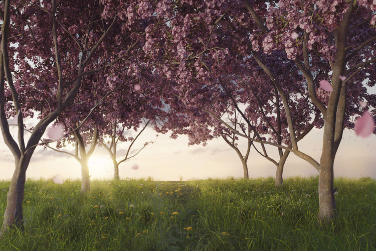 japanese cherry trees at meadow in the evening sunlight Plant Japanese  Cherry Blossom Blossom Cherry Tree Spring Meadow Flower Grass Field Springtime Landscape Tranquility Sakura Freshness Pink Color Nature Outdoors Land Fragility Sunset Sunlight Warm Tree