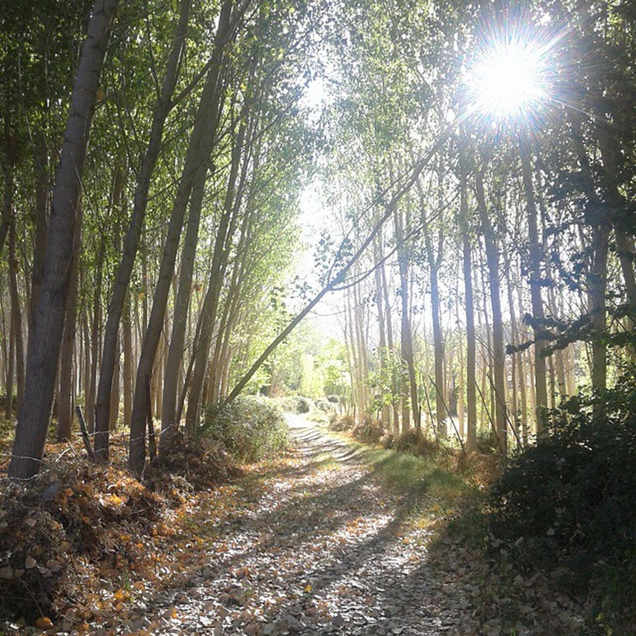 nature, forest, tranquility, tree, beauty in nature, tranquil scene, outdoors, growth, tree trunk, day, scenics, sunlight, no people, the way forward, bamboo - plant, landscape, bamboo grove