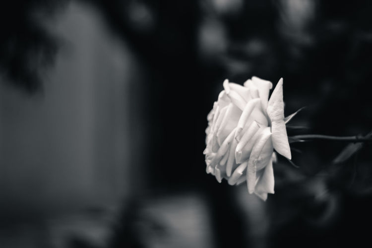 The flower of death Beauty In Nature Blooming Blossom Botany Close-up Day Dead Death Flower Flower Head Focus On Foreground Fragility Freshness Growing Growth In Bloom Nature No People Petal Selective Focus Single Flower Softness Springtime Stem Tranquility