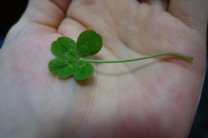 Fame… Wealth… Faithful Lover… Glorious Health… Human Hand Leaf Human Body Part Human Finger Holding Four-leaf Clover One Person Close-up Plant Fragility Indoors  Palm Freshness Nature Day 四つ葉 四つ葉のクローバー