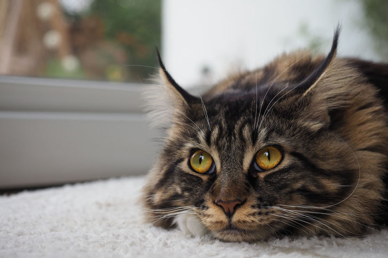 Tiger Tiger Cat Animal Themes Cat Close-up Day Domestic Animals Domestic Cat Feline Focus On Foreground Getigert Indoors  Katze Katzenfoto Looking At Camera Maine Coon Cats Mainecoon Mainecooncat Mammal No People One Animal Pets Portrait Tigerkatze Whisker