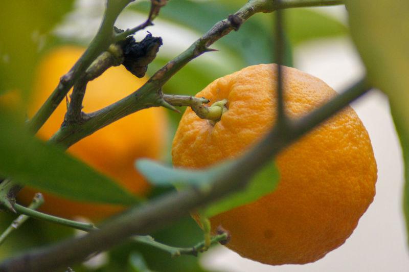 Winter fruit in Bethlehem Orange - Fruit Orange Color Orange Orange Tree Fruit Close-up Citrus Fruit No People Nature Selective Focus Plant Part Leaf Plant Stem Ripe Plant