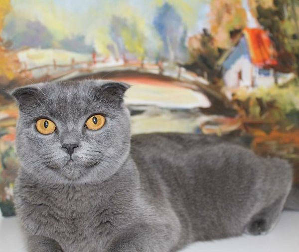 Mammamia mişa 😻 Indoors  Scottishfold Cat Animal Themes Domestic Cat Pets Portrait Domestic Animals Looking At Camera One Animal Feline Mammal No People Sitting Close-up Yellow Eyes Day Indoors  Izmir First Eyeem Photo EyeEmNewHere