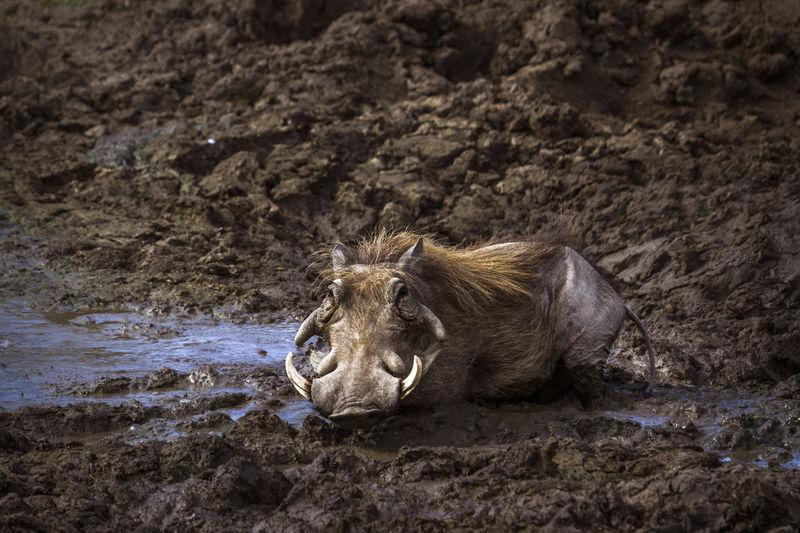 Warthog lying in mud