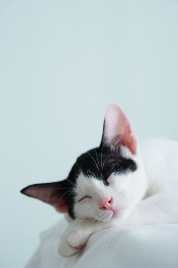 Close-up of a cat over white background