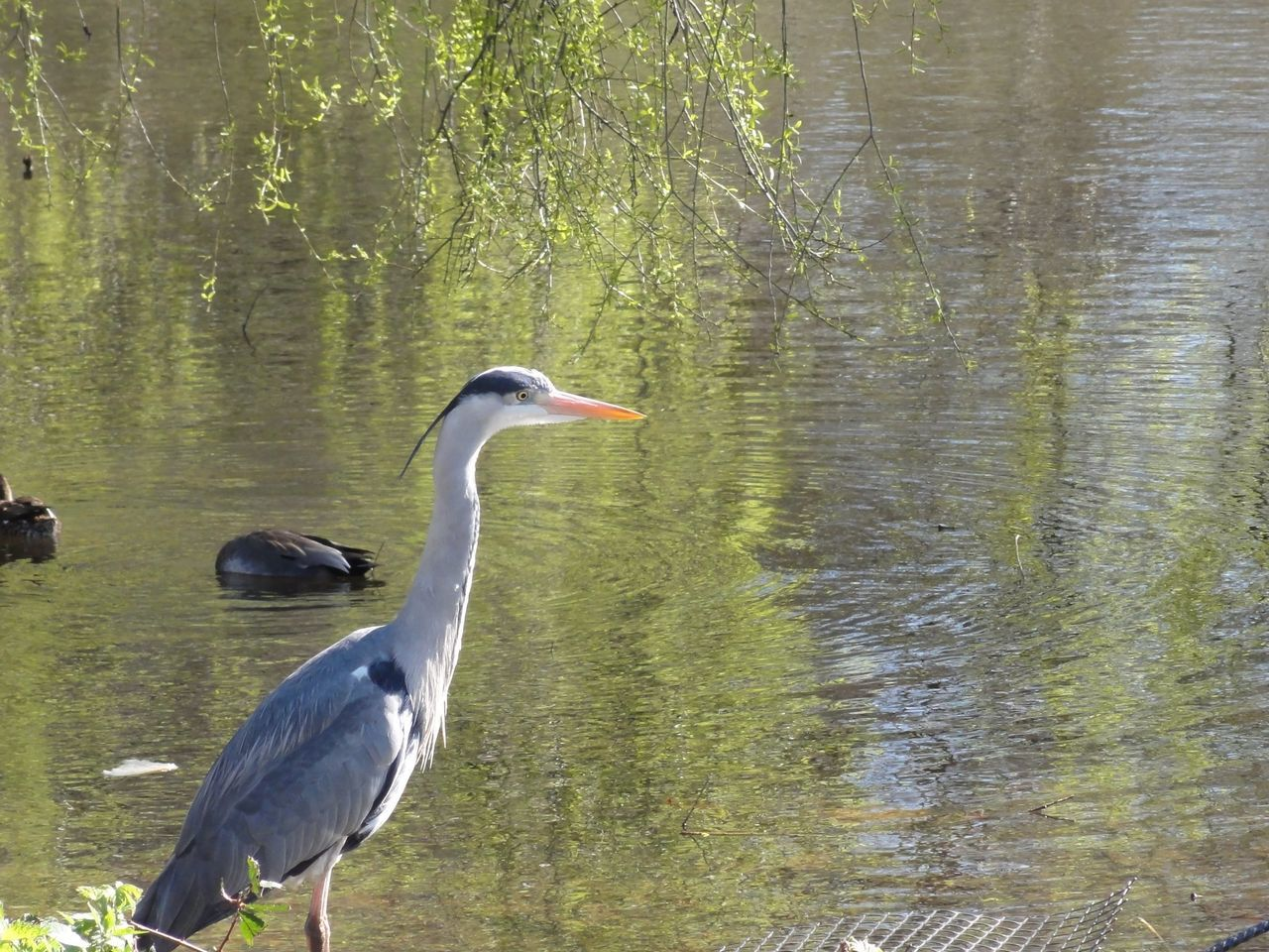animal themes, animals in the wild, bird, one animal, animal wildlife, lake, heron, nature, day, no people, gray heron, water, outdoors, beauty in nature, grass, tree