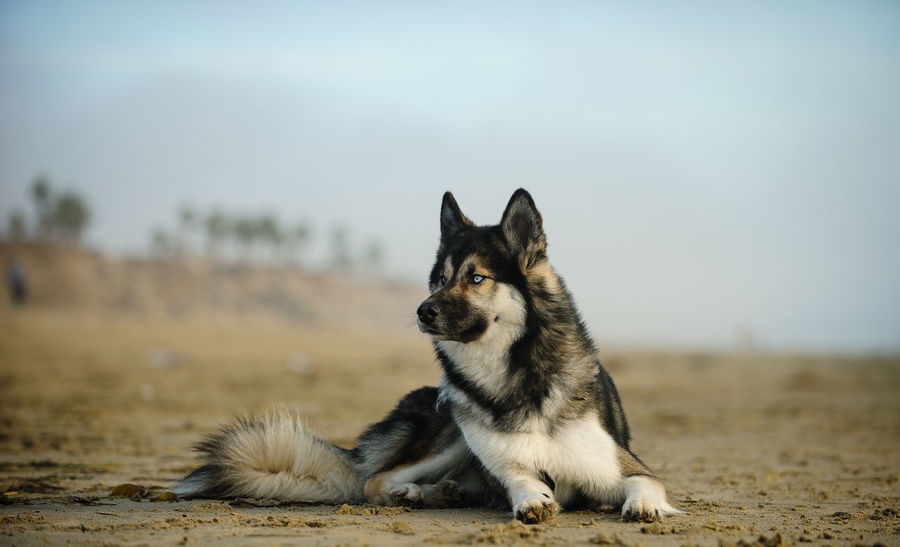Siberian Husky dog Animal Themes Beach Day Dog Husky Lying Down No People Outdoors Pet Relaxing Siberian Husky