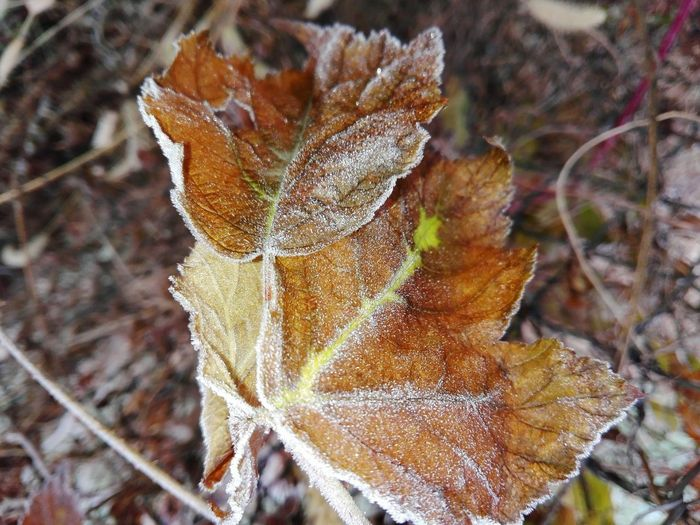 Frost On Leaves Frost Leaves Cucuveaua88 On Eyeem Market Veronica IONITA Photography Leaves End Of Autumn Beginning Of Winter Nature Frunze Natura Bruma Leaf Autumn Winter Close-up Plant