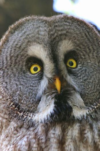 Bartkauz Lapplandeule Bartkauz Eule Kautz Uhu Owl Owl Portrait. Bird Of Prey Bird Owl Portrait Looking At Camera Close-up Animal Body Part Yellow Eyes Animal Eye HEAD