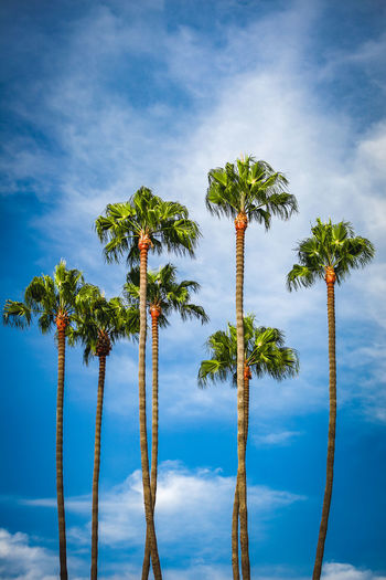 Group of palm trees against a blue cloudy sky Palm Beauty In Nature Blue Blue Sky Cloud - Sky Day Group Growth Low Angle View Nature No People Outdoors Palm Leaf Palm Tree Palm Trees Plant Scenics - Nature Sky Tall - High Tranquility Tree Tree Trunk Tropical Climate Tropical Tree