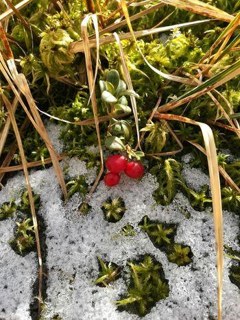 winter vs. herbst Nature Outdoors Preiselbeeren Autumn Winter Outdoor Eyemphotography