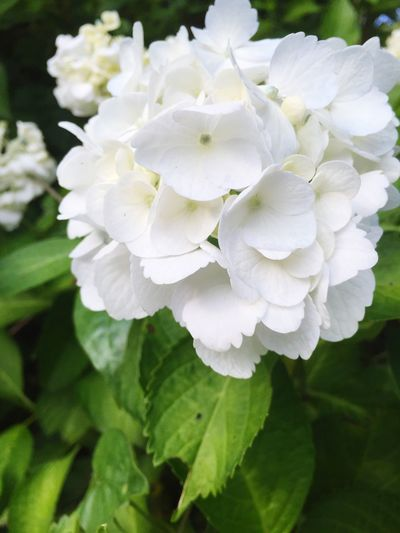 White Color Nature Flower Beauty In Nature Growth Petal Plant Day Close-up No People Fragility Outdoors Blooming Flower Head Freshness アジサイ