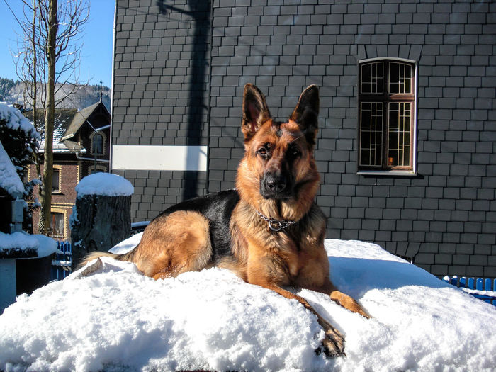 Dog Sitting On Snow Against House