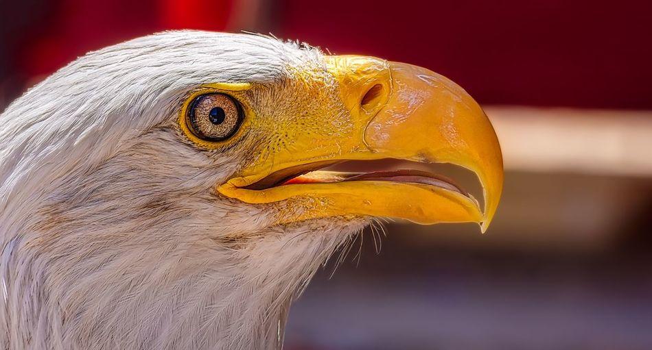 Eagle Animal Animal Themes Close-up Focus On Foreground One Animal Vertebrate Yellow No People Animal Head  Animal Body Part Animal Wildlife Bird