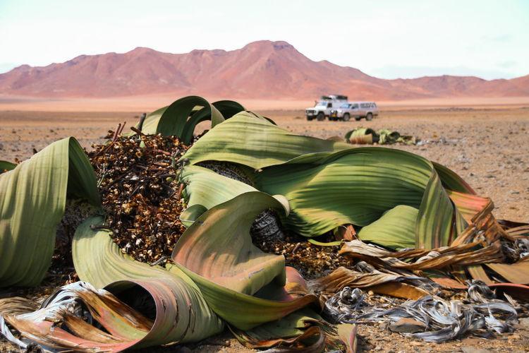 Ancient Plant Desert Desert Plants Landscape Plant Welwitchia