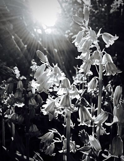 Blackandwhite Sunlight Flowers Backyard Lillies IPhoneography NEM Black&white Hueless Cloesup The backyard Spring evening