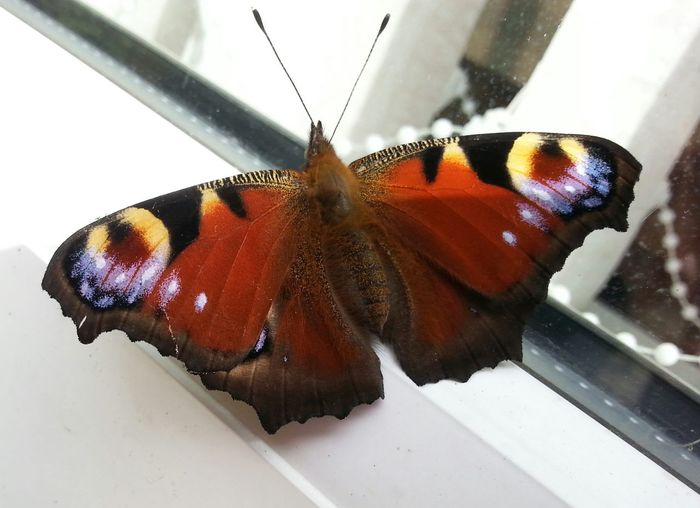 Things I Like Peacock Butterfly Insects  Nature Beauty In Nature Pretty Butterfly Brightly Coloured