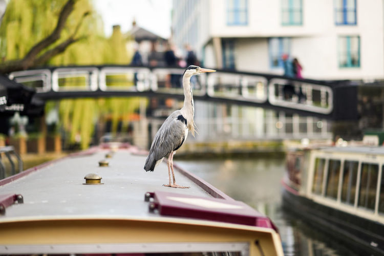 Heron or ardea cinerea on the roof of a boat in Little Venice, Camden town, London, UK Animal Vertebrate Bird Animal Themes Animal Wildlife Animals In The Wild Building Exterior One Animal Architecture Focus On Foreground Built Structure Day Transportation Mode Of Transportation No People Perching Selective Focus Nature Nautical Vessel Outdoors