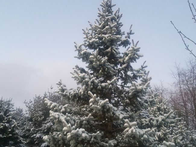 Snow Snow ❄ Tree Trees Tree Pine Tree Pinaceae Winter Christmas Christmas Tree Snow No People Nature Cold Temperature Fir Tree Day Sky Outdoors Spruce Tree Branch Plant Beauty In Nature Freshness Close-up