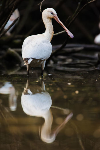 Platalea leucorodia Linnaeus....Reflection Beak Reflection Animal Animals In The Wild Bird Lake Nature No People One Animal Simmetry Water White Color