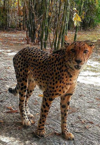 Alertness Animal Animal Themes Animals In The Wild Beautiful Creature Curiosity Leopard Natural Pattern Safari Animals Spotted Wildlife Zoology