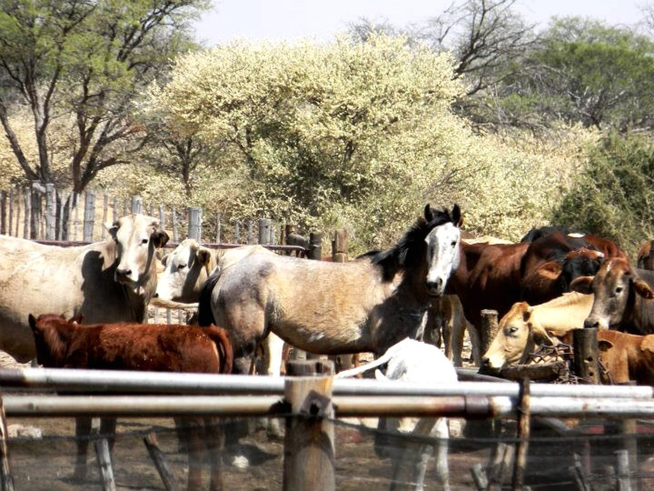 animal themes, domestic animals, livestock, cow, mammal, cattle, tree, no people, day, outdoors, nature