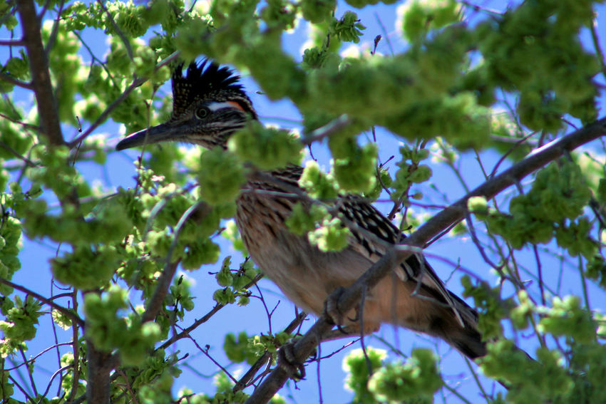 Roadrunner perched in a cottonwood. Animals In The Wild Bird Blooming Branch Cottonwood In Bloom Nature New Mexico One Animal Perching Roadrunner Southwest  Spring Spring Has Sprung Tree Wildlife Showcase April My Favorite Photo Nature's Diversities