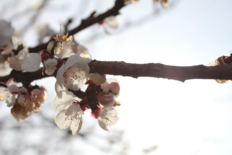 Cherry Blossoms Cherry Blossom Cherry Tree Bestoftheday #The Week On EyeEm VSCO Cam Showcase April