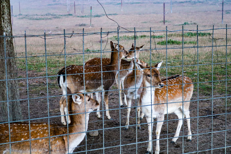 Dammwild Dammwild Autumn🍁🍁🍁 Germany🇩🇪 Nature Animal Photography Nature Photography Cage Trapped Protection Barbed Wire Safety Chainlink Fence Animals In Captivity