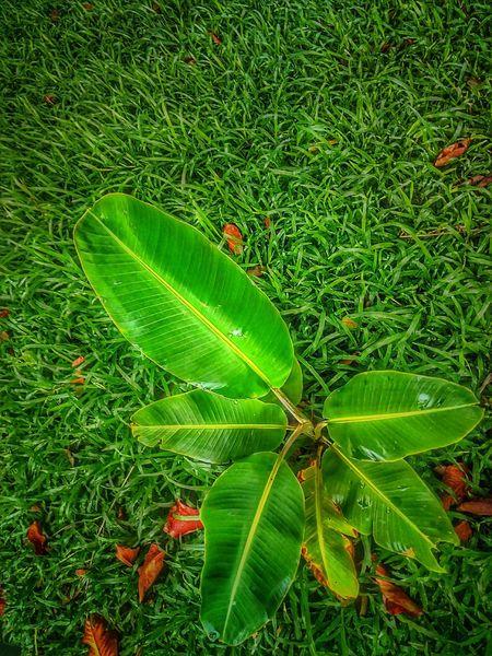 Banana Tree Sapling Sapling Tree Tree Photography Tree_collection  Beauty Of Nature Banana Tree Tree On The Ground Green Color Leaf Nature