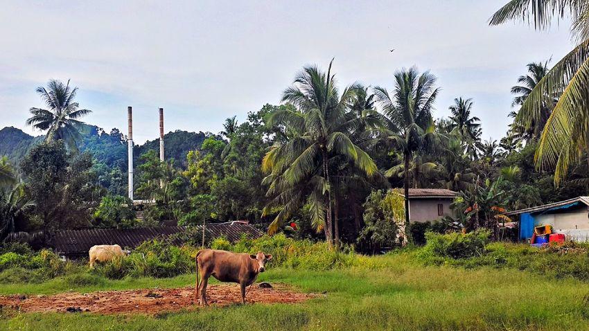 Pak Nam Lang Suan Village Chumphon Cows Day Domestic Animals No People Outdoors Pak Nam Lang Suan Thailand