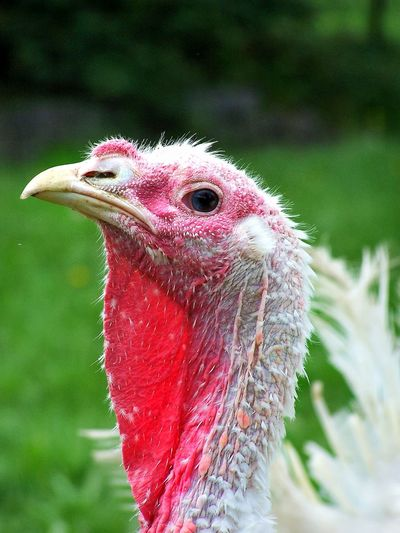One Animal Turkey Turkey - Bird Gobbler Animal Themes Close-up No People Bird Poultry Fowl Nature Outdoors Red Green Livestock Looking At Camera Portrait Nature Thanksgiving Thanksgiving Day Animal Profile HelloEyeEm Angrybirds Angry Birds