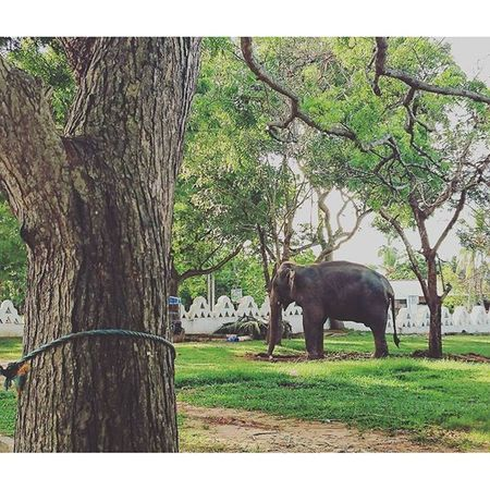 路過寺廟裡面有兩隻大象... SriLanka Dondra Matara Animal Elephant