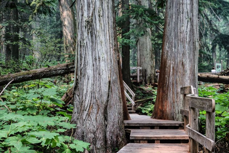 Giant Cedars Boardwalk Trail - Mount Revelstoke National Park Canada Tree Wood - Material Forest Nature Tree Trunk No People WoodLand Tranquility Wood Beauty In Nature