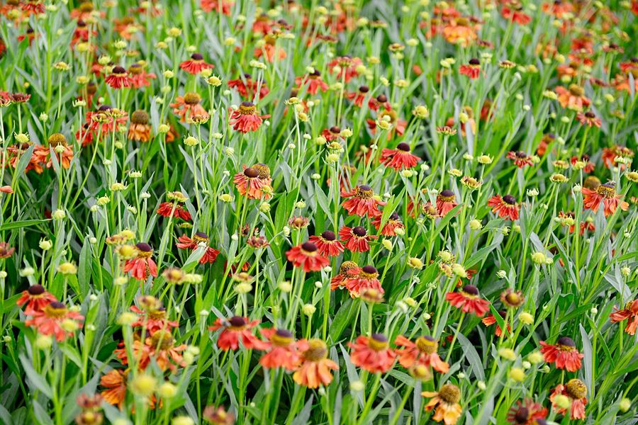 Helenium Hybride Moerheim Beauty Sneezeweed Blossom Blooming Summer Garden Garden Plant Flower Flowering Plant Beauty In Nature Growth Freshness Green Color Red Fragility Vulnerability  Nature No People Petal Day Full Frame Flower Head Backgrounds Field Land