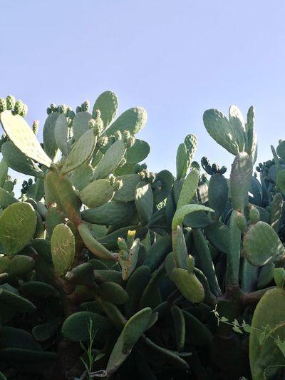 Cactus Flower Enjoylifecolors Greece Travelgreece Nature Beauty Nature No People Blue Sky Atticazoo Colorful GREECE ♥♥ Green Cactus Blue Sky Leaf Sky Close-up Plant Green Color Cactus