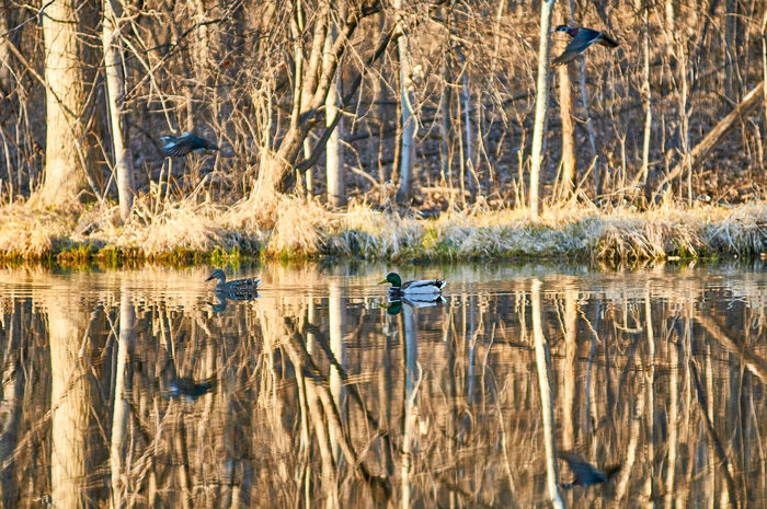 Some swim, some fly. The Mallard ducks frolicking in a suburban pond. Beauty In Nature Ducks Flying Nature Pond Pond Life Reflection Spring Flowers Tranquil Scene Trees